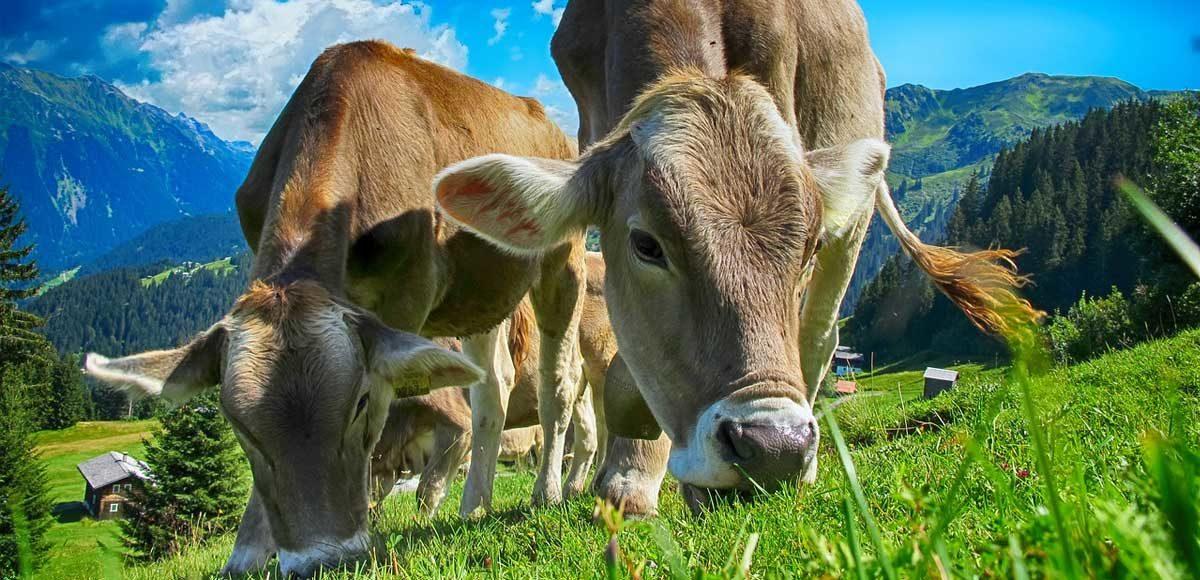 agopuntura-cinese-per-curare-le-mucche-vinosano