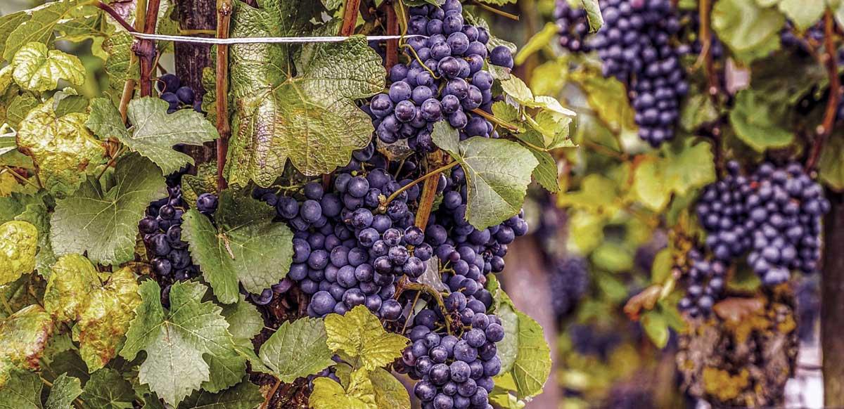 vitigni-autoctoni-italiani