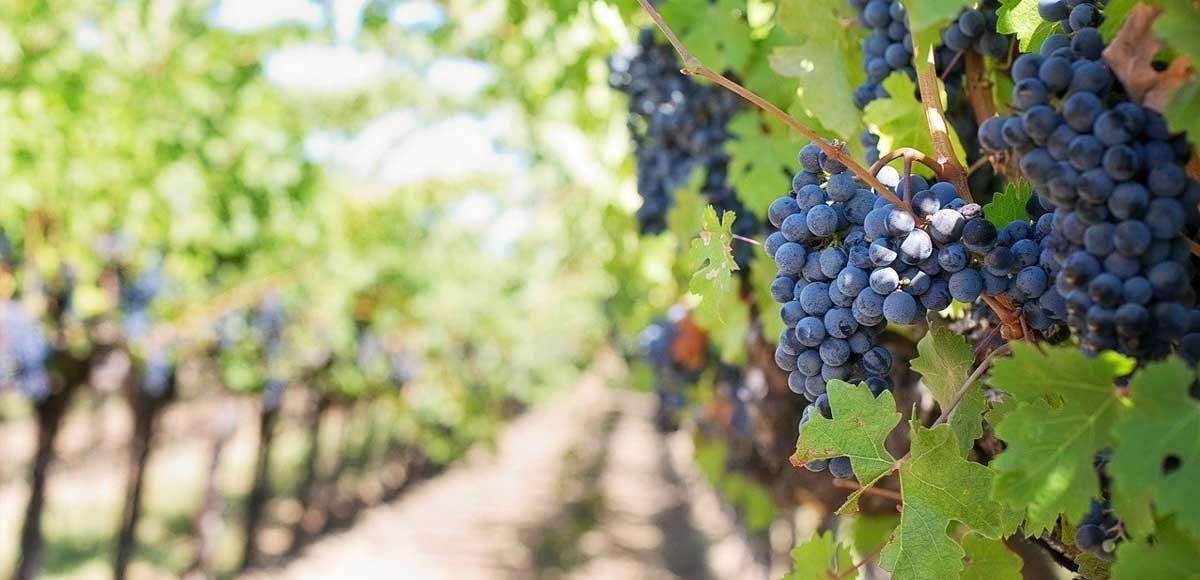 uva-calo-vino